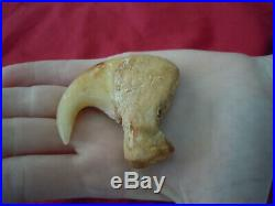 1 Rare big antique lion dew claw Panthera Leo 3.5 inches long A