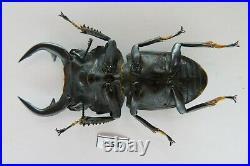 83547Lucanidae Dorcus grandis. Vietnam South. Very big. Rare