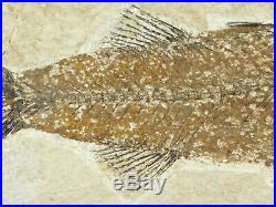 A BIG Rare 100% Natural MIOPLOSUS Fish Fossil on Big Matrix! From Wyoming 1243gr