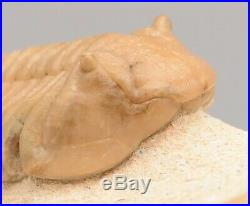 ATRACTOPYGE XIPHERES Trilobite Russian RARE EXOTIC BIG SIZE