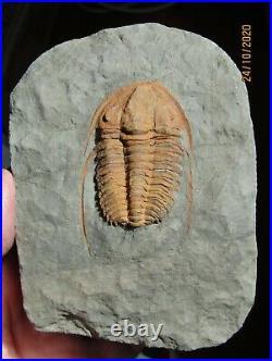 BIG, EXCELLENT AND RARE TRILOBITE. Hamatolenus vincenti CAMBRIAN. MOROCCO. NºMS16