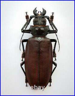 BIG Titanus giganteus 142mm+ Prioninae A- male RARE Cerambycidae