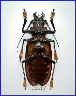 BIG Titanus giganteus 142mm Prioninae A- male RARE Cerambycidae