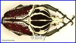 Goliathus goliatus adspersus Big 96mm, Beautiful, Very Rare
