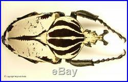 Goliathus goliatus quadrimaculatus male, Rare and big 94mm, A1/A
