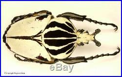 Goliathus goliatus quadrimaculatus male, beautiful, big, rare 95mm, Amazing