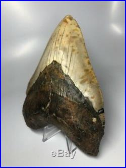 Huge 5.79 Real Megalodon Fossil Shark Tooth Rare Big 1864
