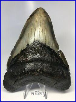 Huge 5.91 Real Megalodon Fossil Shark Tooth Rare Big 3529