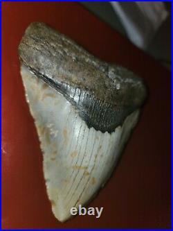 Megalodon Shark Tooth 5.25 Huge Teeth Big Meg Beautiful Lot Of 1 Rare Fossil