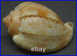 NEW YEAR SALE! AUSTROHARPA PUNCTATA 37.6 mm. TOP, BIG, RARELY LIVE COLLECTED
