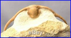 PARACERAURUS MACROPHTHALMUS Trilobite Russian RARE EXPRESSIVE VERY BIG SIZE