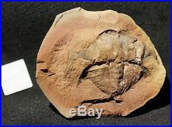 RARE big horseshoe crab Euproops rotundatus in Mazon Creek like paired nodule