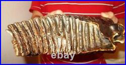 RaRe BIG Tooth of a Woolly Mammoth Museum Quality! FOSSIL Pleistocene, Ice Age