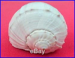 Rare Big Size Dakshinavarti Shankh / Right handed Conch