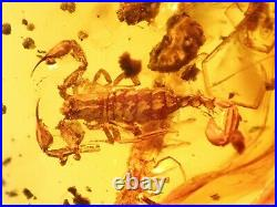 Rare big chelifer scorpion. Burmite Natural Myanmar Insect Amber Fossil