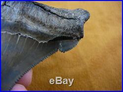 (S299-1) RARE 4.02 ANGUSTIDENS fossil Collector SHARK TOOTH big teeth sharks