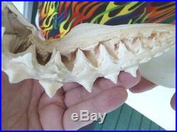 (SJ130-6) Big RARE 16-3/8 GREAT WHITE SHARK JAW jaws Teeth Tooth Carcharias