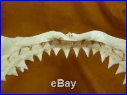 SJ130-8 RARE 13-1/8 GREAT WHITE SHARK JAW jaws Tooth Carcharias big 1 teeth