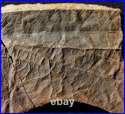 Very rare big Carboniferous insect wing fossil in Mazon Creek like nodule half